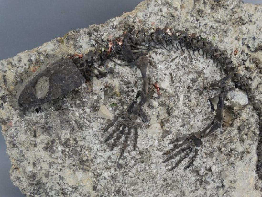 CAPTORHINUS FOSSIL -Extinct Permian Period Reptile - 3