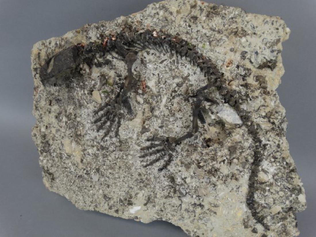CAPTORHINUS FOSSIL -Extinct Permian Period Reptile - 4