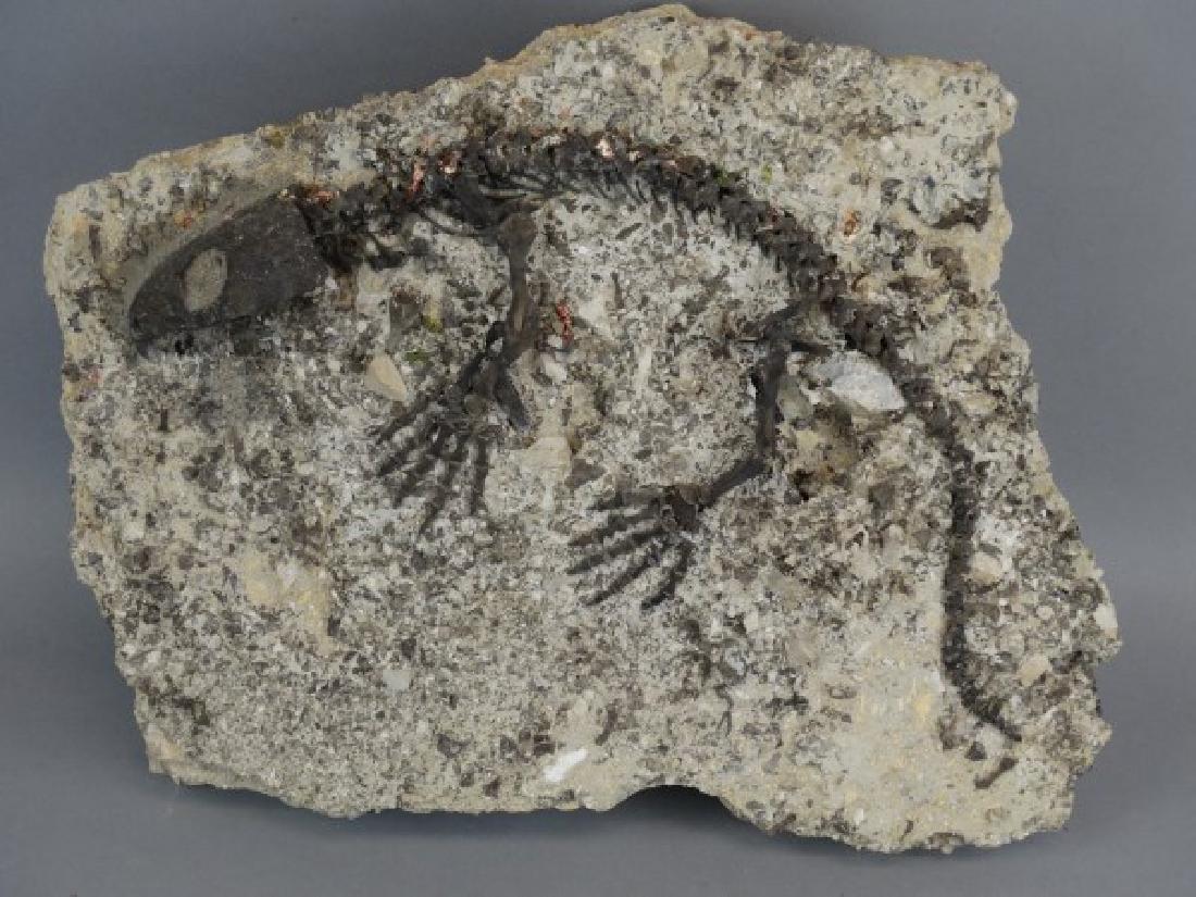 CAPTORHINUS FOSSIL -Extinct Permian Period Reptile - 5