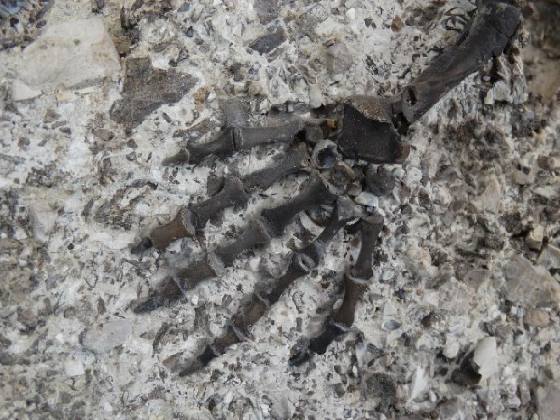 CAPTORHINUS FOSSIL -Extinct Permian Period Reptile - 6
