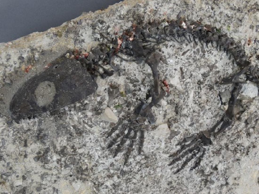 CAPTORHINUS FOSSIL -Extinct Permian Period Reptile - 8
