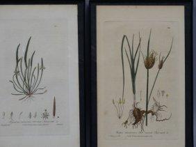 Lot Of 2 Early Botanical Prints