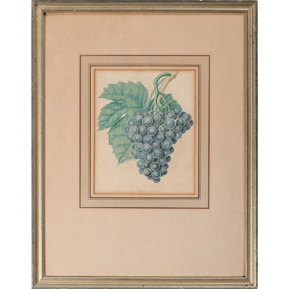 Hand-Colored Lithographs of Grapes