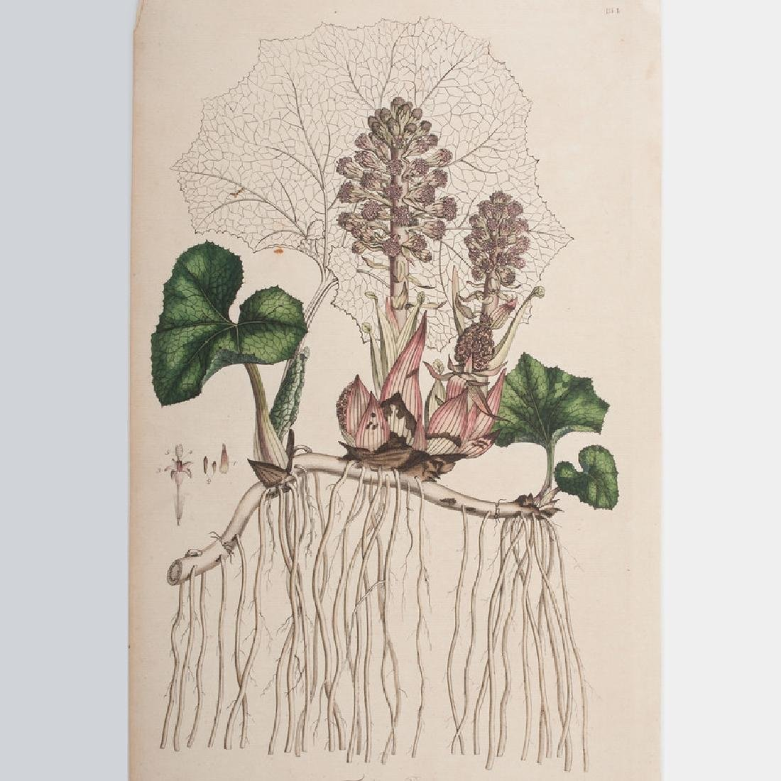 Botanical Engravings by James Sowerby and Francis