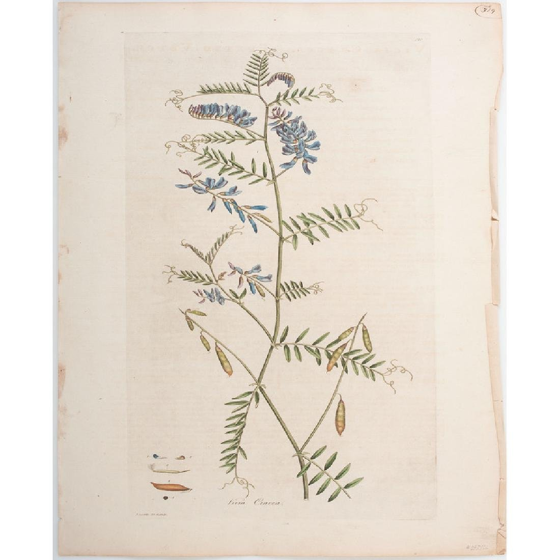 Botanical Engravings by James Sowerby and Francis - 2
