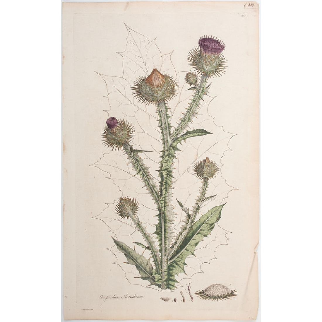 Botanical Engravings by James Sowerby and Francis - 3
