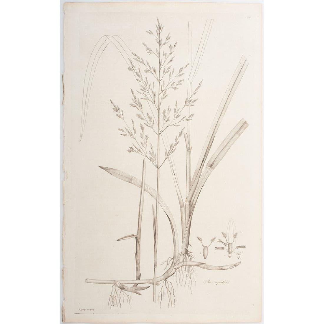Botanical Engravings by James Sowerby and Francis - 5