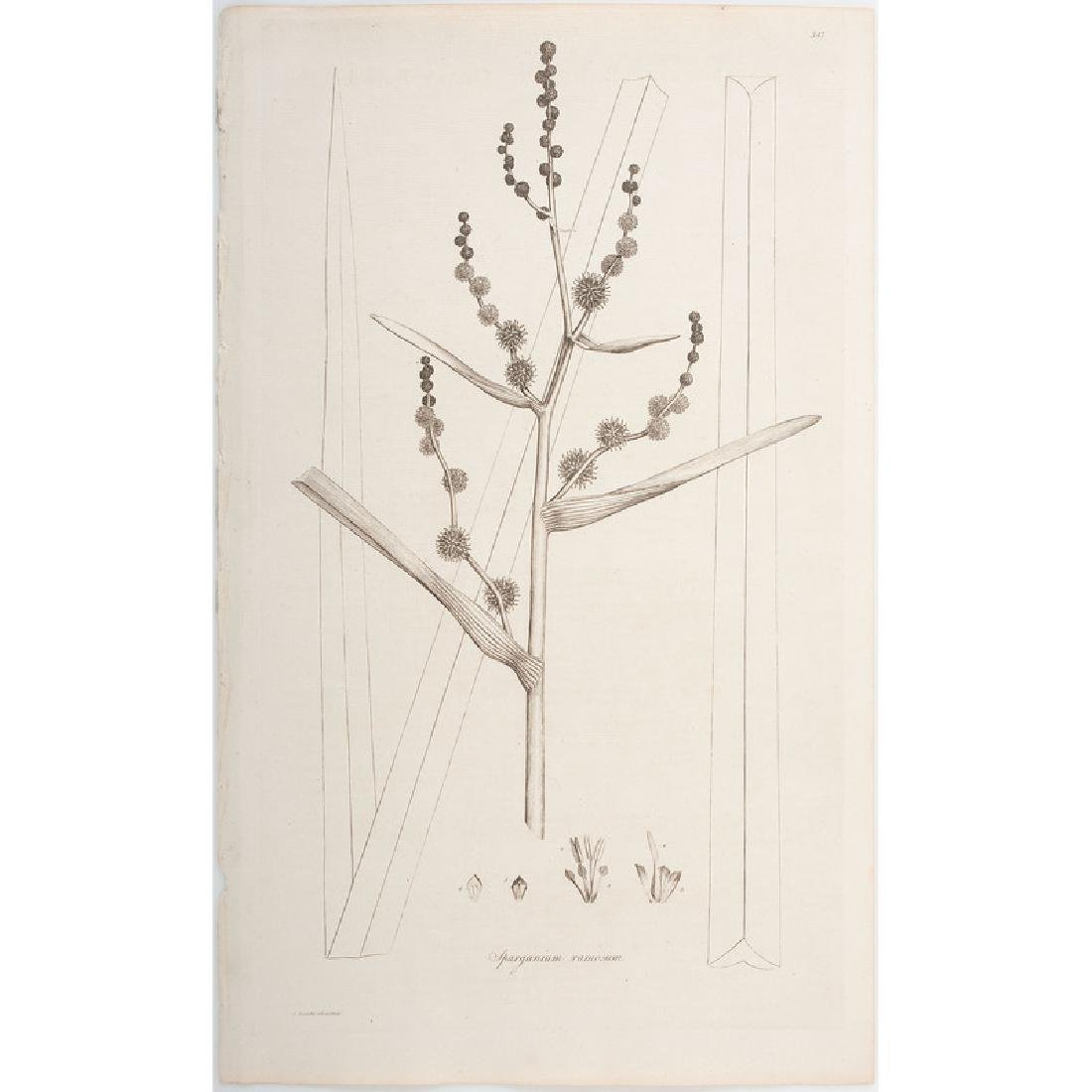Botanical Engravings by James Sowerby and Francis - 6