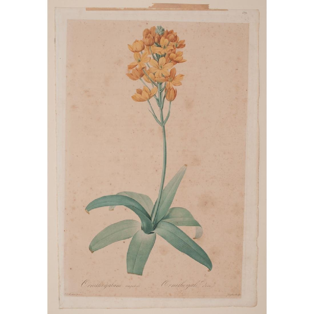 Botanical Hand-Colored Engravings by Pierre-Joseph