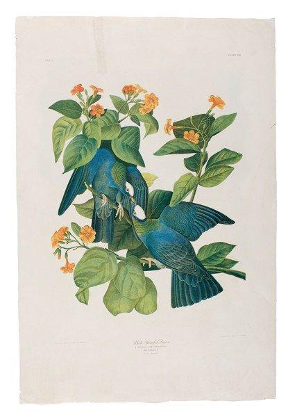 63: Audubon Print, White Headed Pigeon Bien Ed.