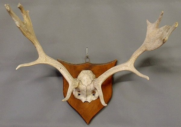 "10: Set of elk antlers mounted on a wood plaque. 23""h."