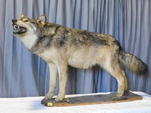 Full Timber Wolf Standing Mount