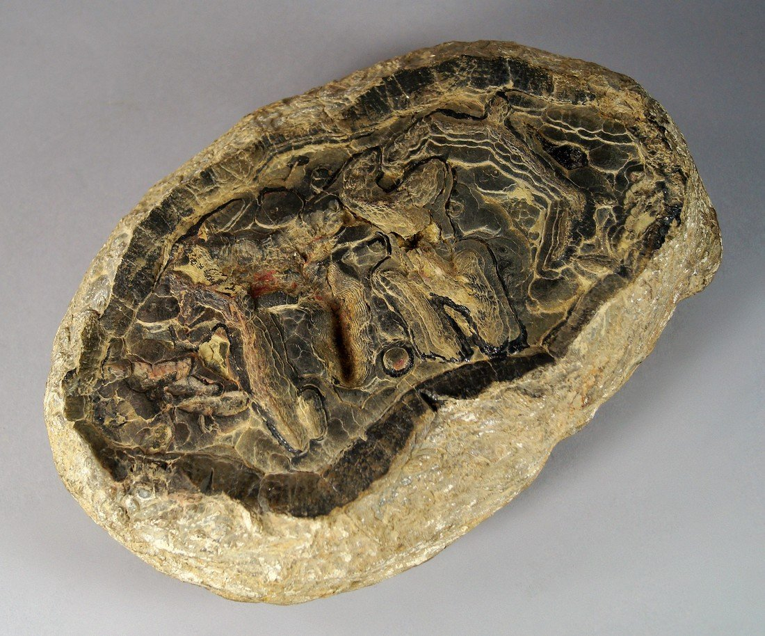 A large fossil, of a trilobite type creature, 30cm long