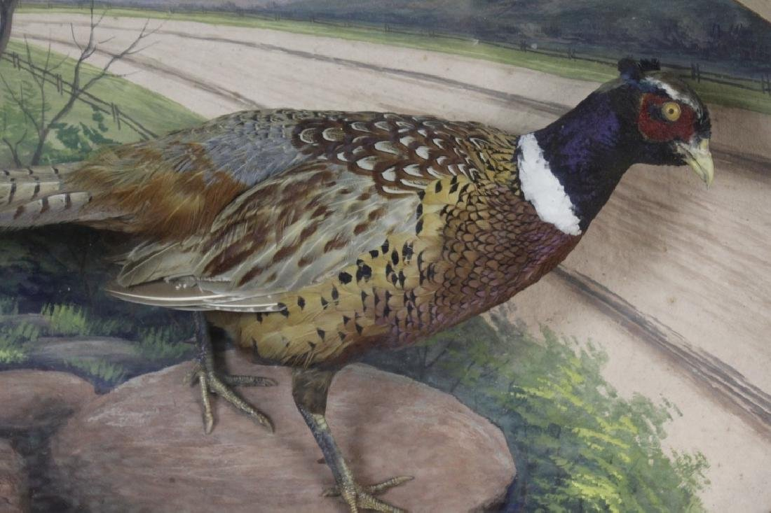 Early Taxidermy Mounted Male Pheasant in Diorama - 4
