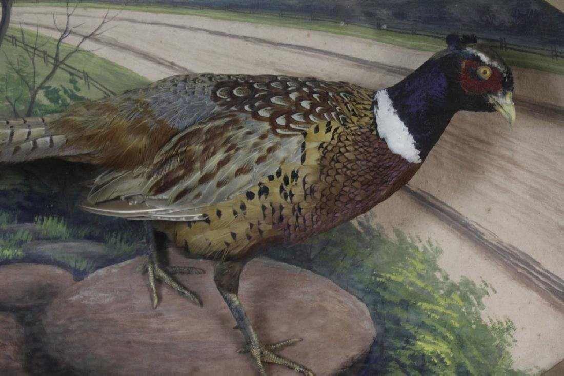 Early Taxidermy Mounted Male Pheasant in Diorama - 5