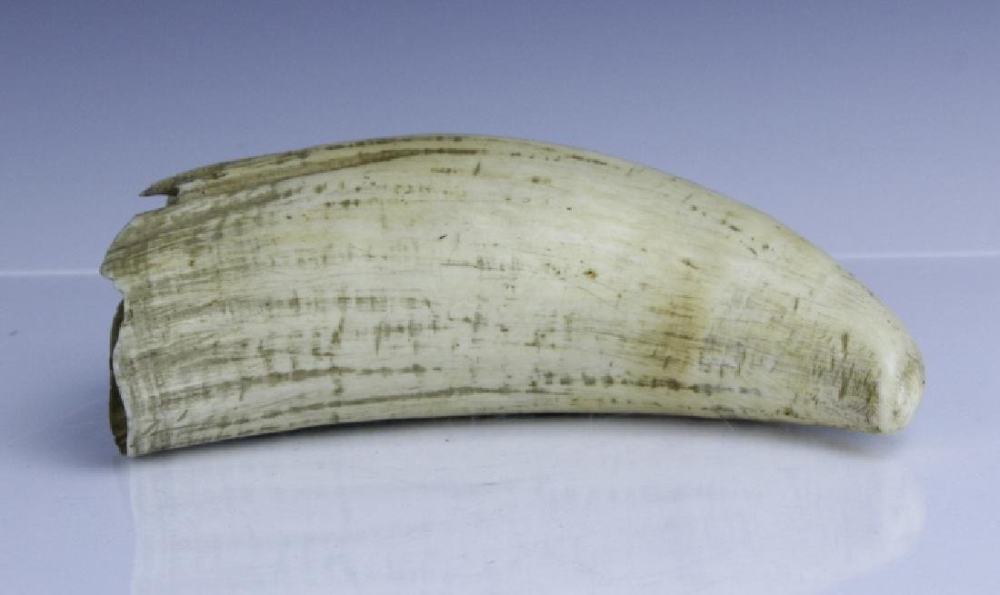 "Large Antique 19th c 7.5"" Authentic Whale's Tooth"