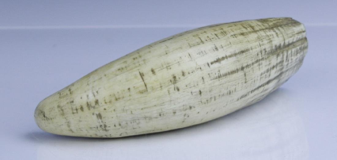 "Large Antique 19th c 7.5"" Authentic Whale's Tooth - 3"
