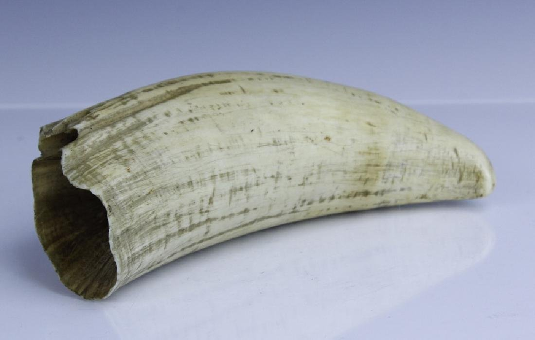 "Large Antique 19th c 7.5"" Authentic Whale's Tooth - 5"