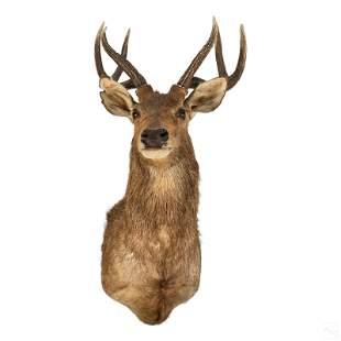 Taxidermy Indonesian Javan Rusa Deer Head Mount