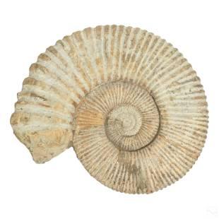 "Natural History Huge 18"" Fossil Ammonite Specimen"