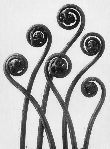 "16: Blossfeldt, Karl 1865 Schielo - 1932 Berlin  ""Urfor"