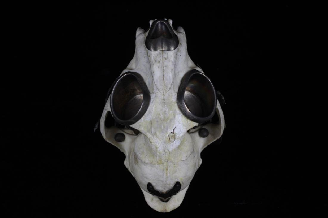 Thailand Extremely Rare Leopard Skull w/ Silver - 10