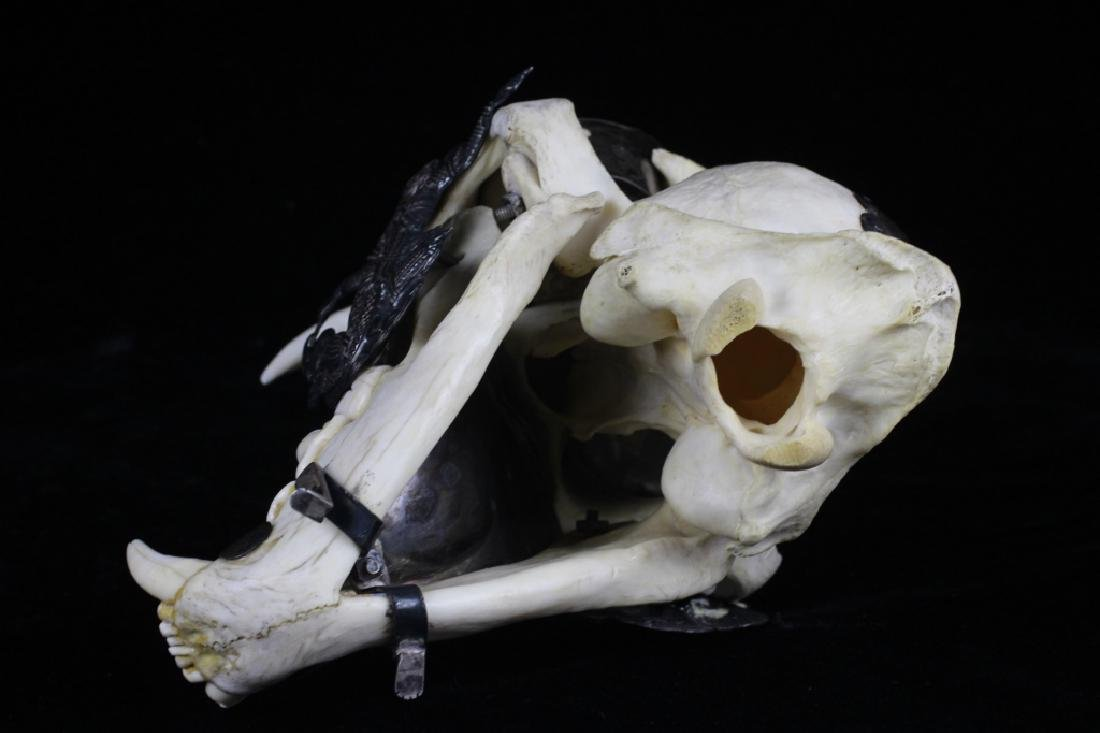 Thailand Extremely Rare Leopard Skull w/ Silver - 9