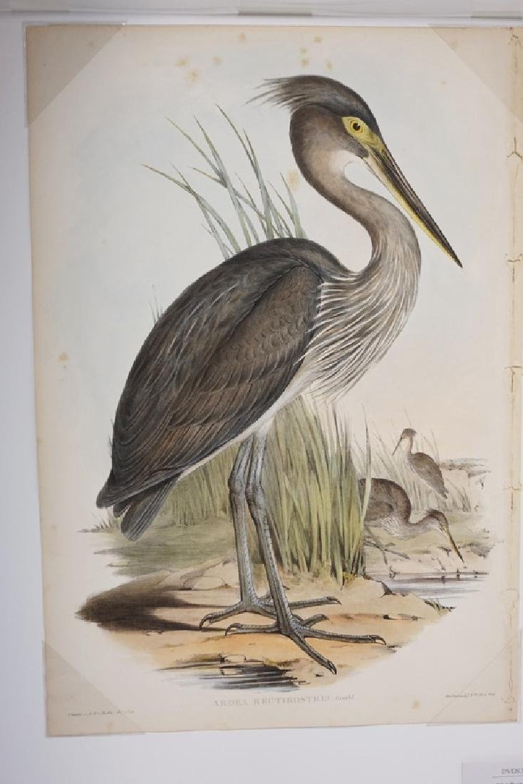 HAND COLORED JOHN GOULD LITHO OF A GREAT BILLED HERON.