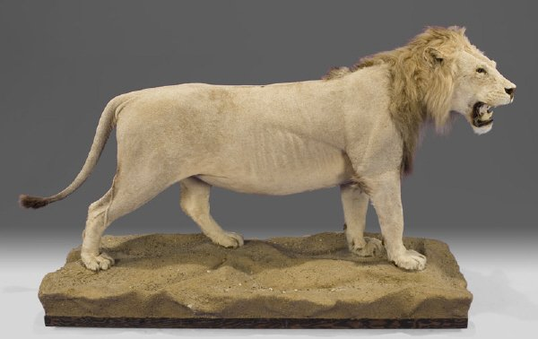 207: Male African lion full body taxidermy mount,