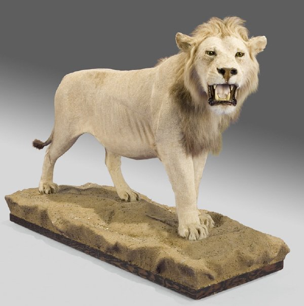 207: Male African lion full body taxidermy mount, - 2
