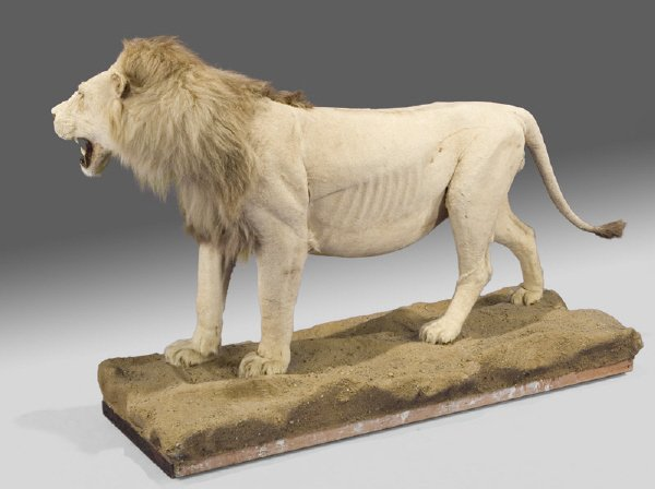 207: Male African lion full body taxidermy mount, - 3