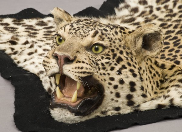 134: Leopard skin full head taxidermy rug having a blac - 2