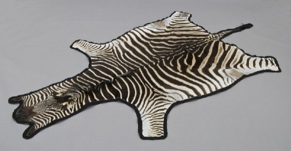 95: Large taxidermy Burchells zebra hide rug