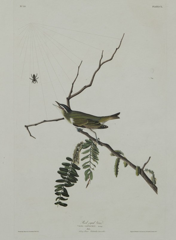 "After John James Audubon ""Red-eyed Vireo"""
