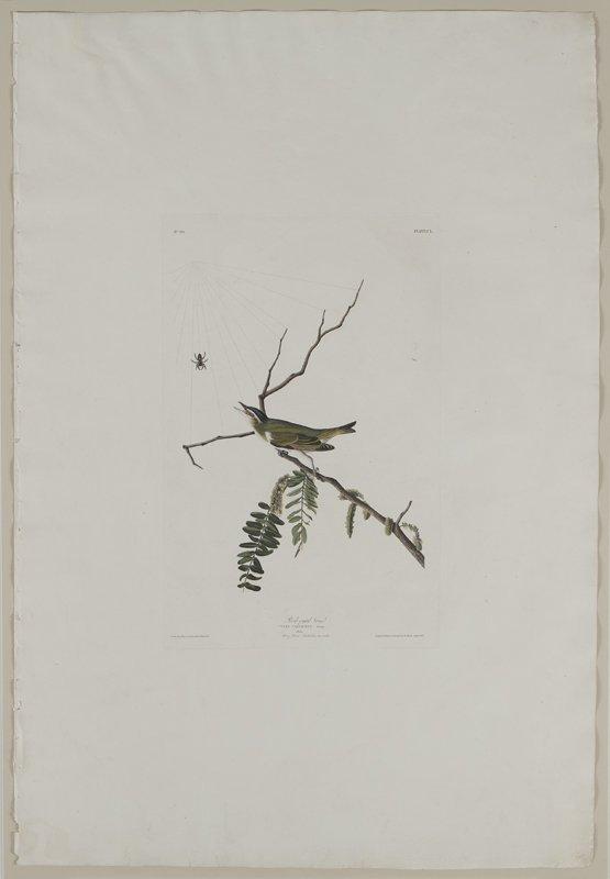 "After John James Audubon ""Red-eyed Vireo"" - 6"