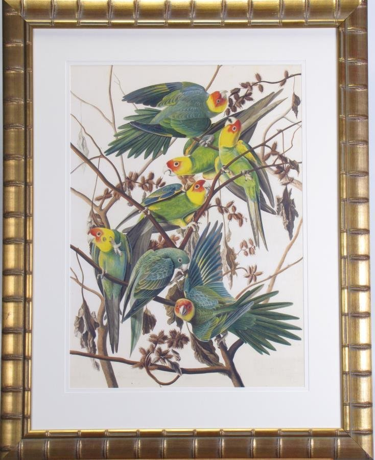 Oppenheimer Audubon Carolina Parrot