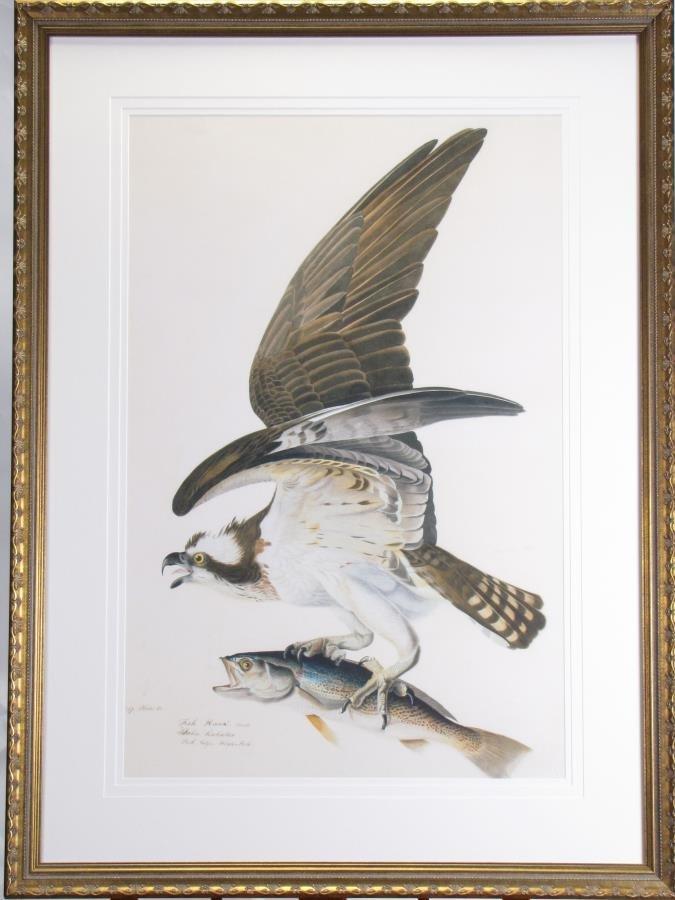 Oppenheimer Audubon Fish Hawk or Osprey