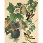 Oppenheimer Audubon Baltimore Oriole