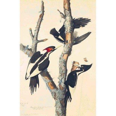 Oppenheimer Audubon Ivory-Billed Woodpecker