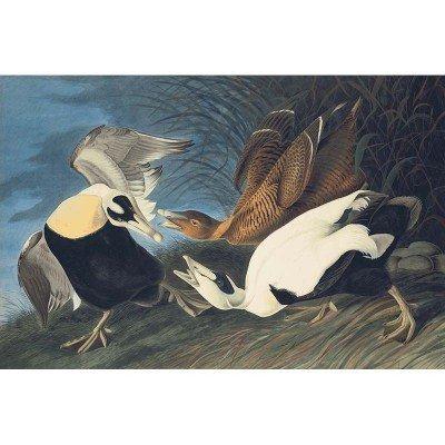 Oppenheimer Audubon Eider Duck