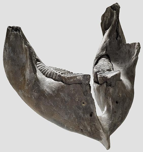 2008: A mammoth's lower jaw