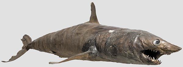 2009: A taxidermied shark