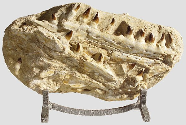 18: A jaw fragment of a carnivorous dinosaur
