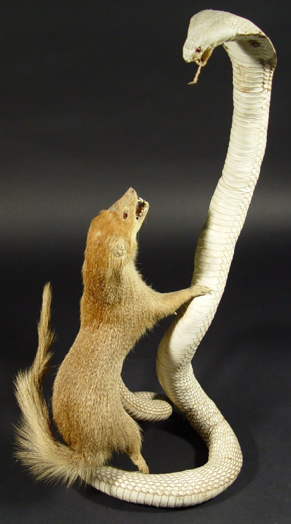 639: Stuffed taxidermy mongoose attacking a cobra, 57cm