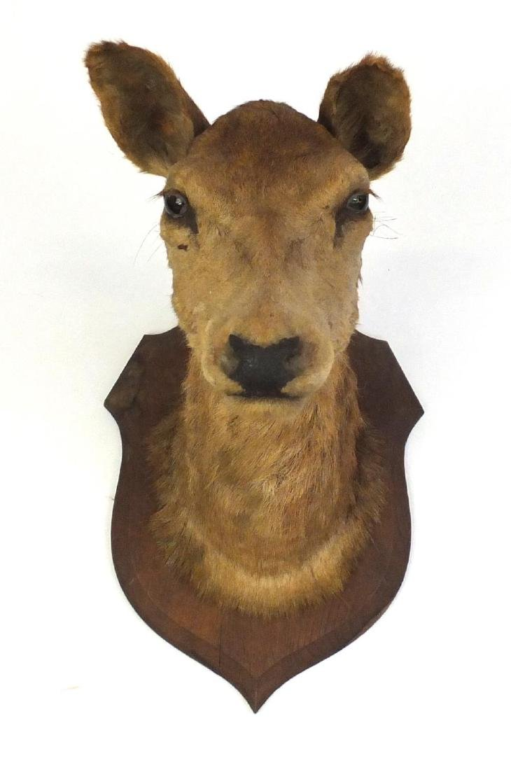 Large taxidermy deer's head on oak shield back, 51cm high Further condition reports can be found
