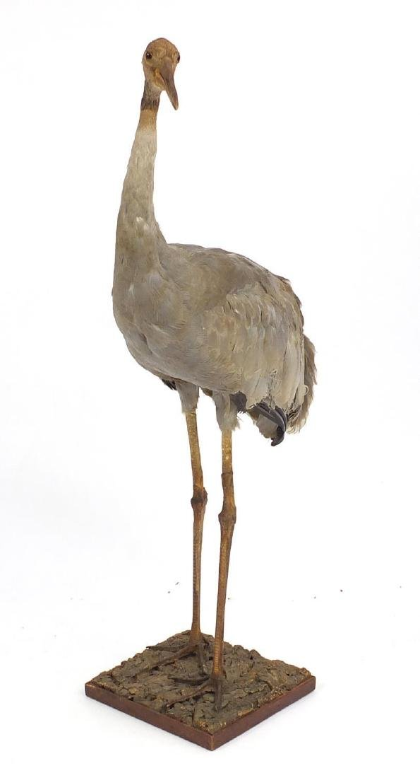 Large taxidermy floor standing crane, 121cm high Further condition reports can be found at the