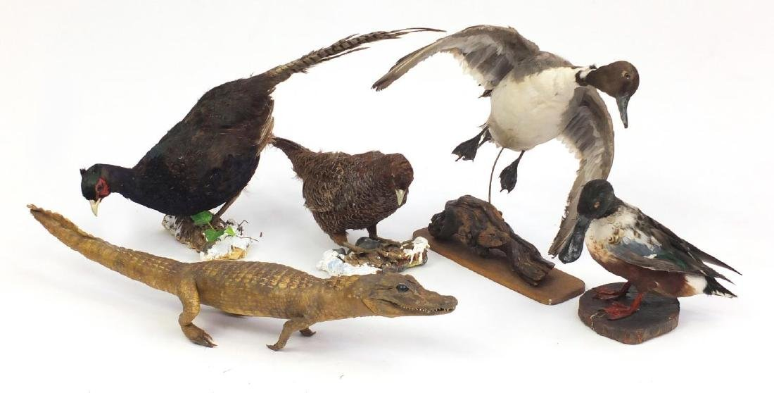 Four taxidermy interest birds and a baby alligator, the largest 77cm in length Further condition