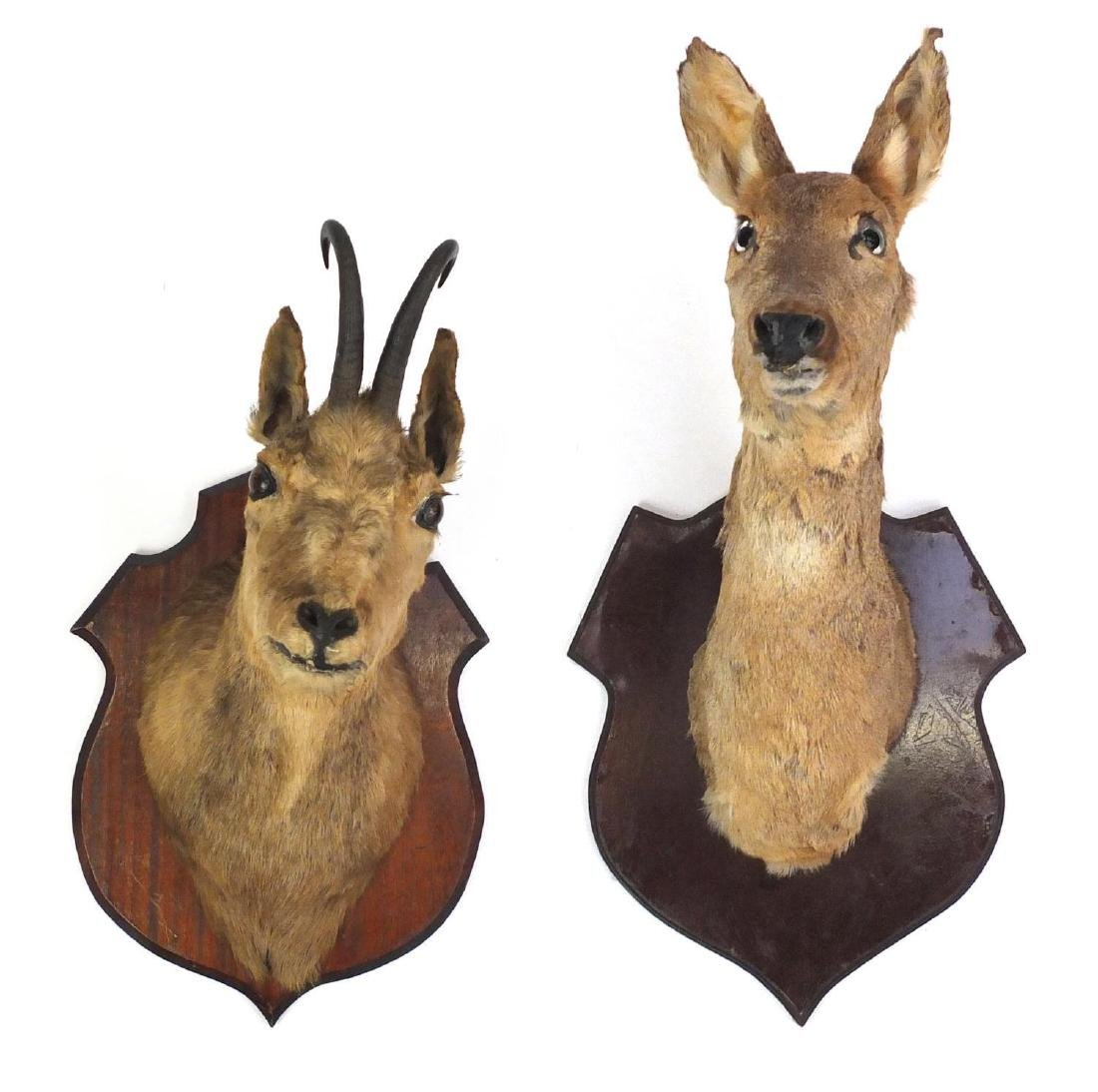 Two taxidermy heads, one deer and one other, on wooden shield backs, the largest 48cm high Further