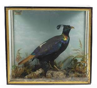 Taxidermy Himalayan Monal pheasant preserved by William