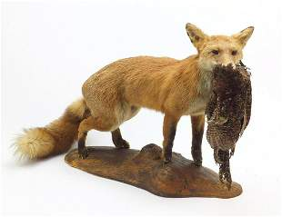 Taxidermy fox with pheasant raised on a naturalistic